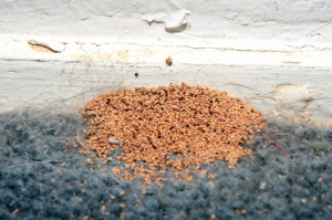 Termite droppings