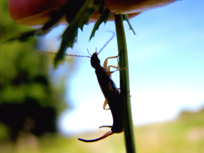 Earwig on stem
