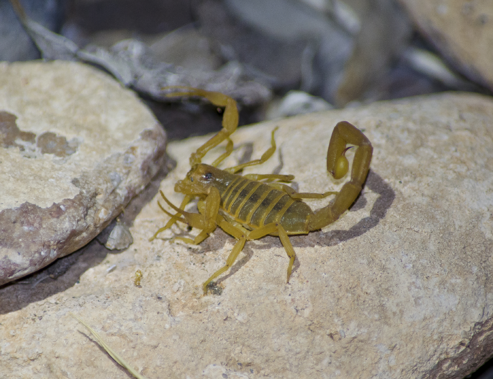 Arizona Bark Scorpion | Pest Control Las Vegas NV